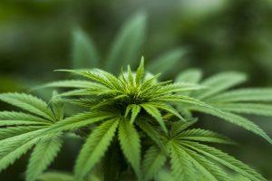 cannabis pianta